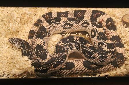 High White Northern Pine Snake Female