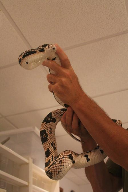 High White Northern Pine Snake
